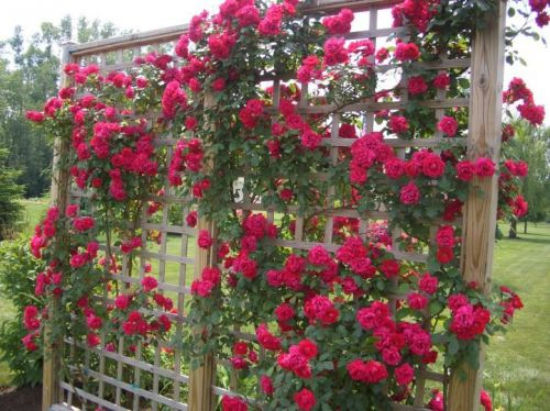 Beautiful Premium Red Climbing Rose Bush (15 Seeds) Roses, Hardy, L@@K!!, C $6.00 � Picture 1