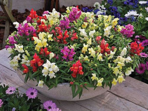 Sale,,fresh multi color snapdragon (tom thumb)-(30+ seeds)house or bedding plant