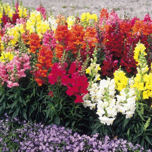 Sale,,,fresh multi color snapdragon (30+ seeds) house or bedding plant