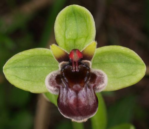 "Fresh premium ophrys ""bombyliflora"" (bee orchid)-(10+ seeds) wow,l@@k!!!!!!"