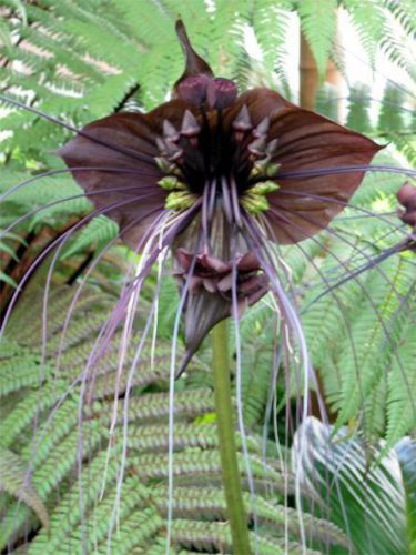 "Fresh exotic tacca ""chantrieri"" (black bat flower)-(10 seeds) wow, l@@k!!!!"
