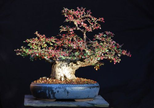 "Fresh cotoneaster ""horizontalis"" (10+ seeds) bonsai, wow, l@@k!!!"