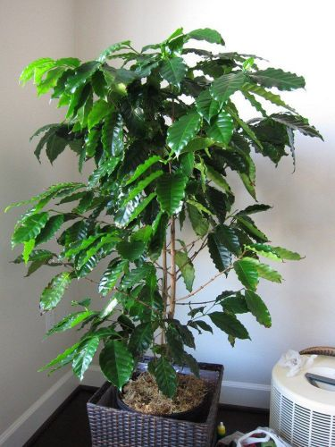 "Fresh yellow kona coffee ""hawaiian""(5 seeds) best tasting, house plant, l@@k!!"
