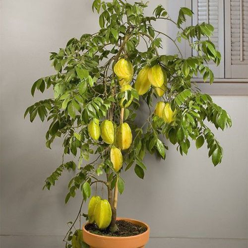 "Fresh exotic averrhoa ""carambola"" (starfruit)-(sweet)-(5 seeds) l@@k!!!!!"