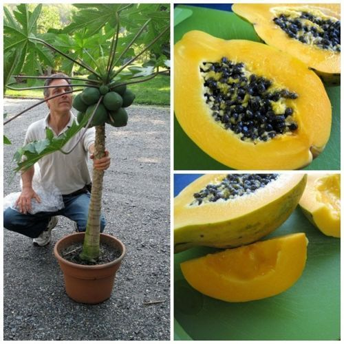 "Fresh exotic dwarf hawaiian papaya �waimanalo"" (sweet)(10 seeds) easy grow,l@@k!"