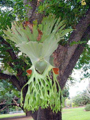 "Fresh exotic platycerium ""superbum"" (staghorn fern)(20+ seeds/spores) wow, l@@k!"